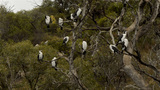 Australian Cormorant / Darter Birds Perched in a Tree Footage