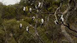 Australian Cormorant / Darter Birds Perched in a Tree Stock Video Footage