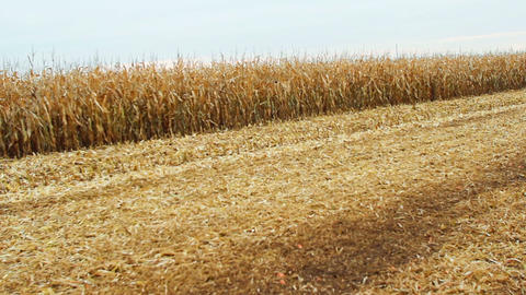 Corn harvest Stock Video Footage