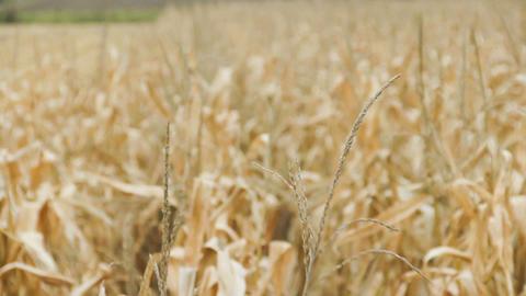 Corn harvest Footage