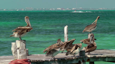 Pelicans on Pier Footage