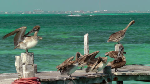 Pelicans on Pier Stock Video Footage