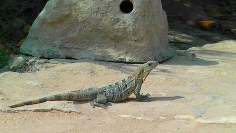 Iguana Sunbathing in Tulum Stock Video Footage