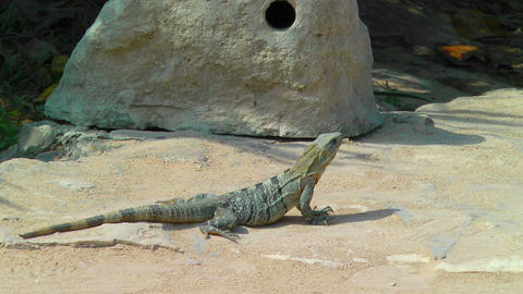 Iguana Sunbathing in Tulum Footage