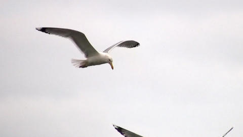 Flying seagull Stock Video Footage