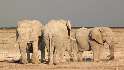 African elephants at waterhole Stock Video Footage