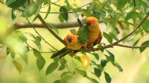 Green Yellow Lovebirds Intimate Affairs Footage