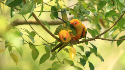 Green Yellow Lovebirds Intimate Affairs Stock Video Footage
