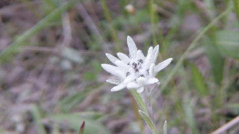edelweiss Stock Video Footage