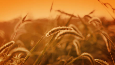 Background with golden grass Stock Video Footage