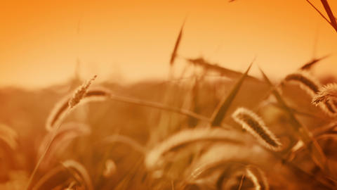 Background with golden grass Footage
