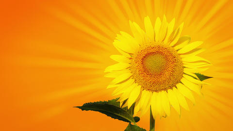 Sunflower with sunbeams Footage