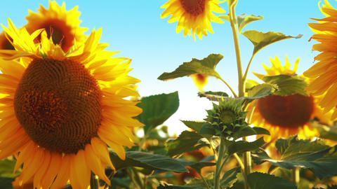 Field of sunflowers. Slow motion Stock Video Footage