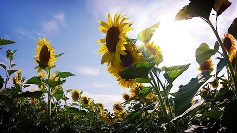 Field of sunflowers. Walk Footage
