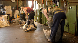 Shearer Dragging Sheep Out Ready to Shear Stock Video Footage