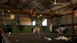 Rousabout Throwing a Fleece of Wool Stock Video Footage