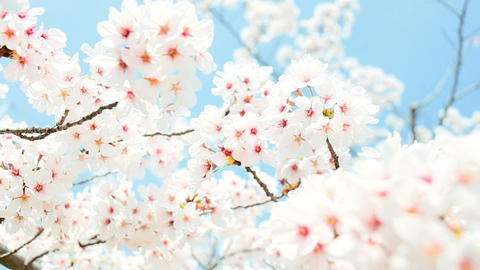 close-up of Cherry Blossom Stock Video Footage