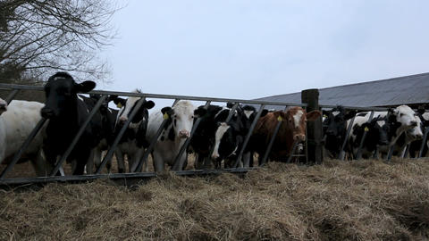 Cows Feeding Stock Video Footage