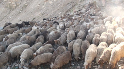 Herding sheep in Northern Pakistan Footage