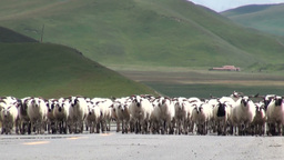 Herd of sheep walking on road in Tibetan landscape Stock Video Footage