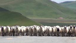 Herd of sheep walking on road in Tibetan landscape Stock Video Footage