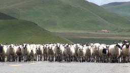Herd of sheep walking on road in Tibetan landscape Footage