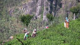 Tea pickers in the fields in Sri Lanka Footage