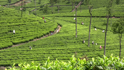 Tea picking field in Sri Lanka Stock Video Footage