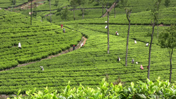 Tea picking field in Sri Lanka Footage