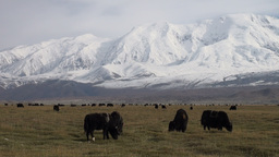 Yak graze with beautiful mountains in the backgrou Stock Video Footage