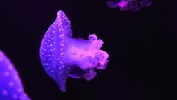 Jellyfish Swimming In Tank Footage