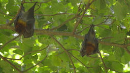 Flying foxes hangs on a tree branch and washes Footage