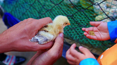 Little Girl Tries to Feed Chicken from Hand Fears at Farm Footage