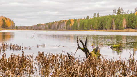 Rotten snag in the pond. Autumn, Russia. TimeLapse Footage