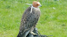 Saker falcon in a cap. Falco cherrug. Bird of prey Live Action