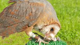 Barn owl. Tyto alba. Bird of prey Live Action