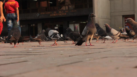 Pigeons In Brick Plaza Live Action