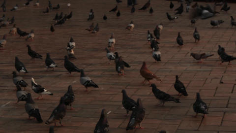 Pigeons At Dusk Or Dawn Live Action