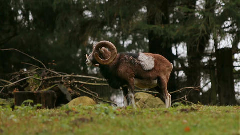 European mouflon standing on grassland looking around Footage
