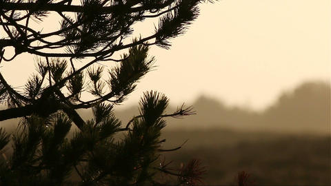 Pine in sunset in romo, denmark in front of heathland Footage