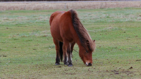 Young horse grazing and chewing on meadow closeup Live Action