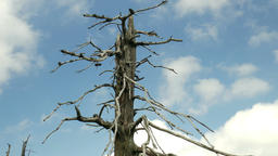 Dead tree with fast moving clouds. Air pollution. Timelapse Footage