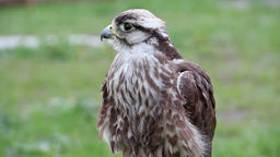 Saker falcon. Falco cherrug. Bird of prey Footage