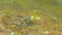 The edible frog. Rana esculenta. Common water frog. Green frog Live Action