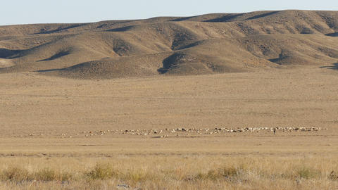 Pasture Sheep 4K Footage