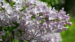 Lilac flowers. Syringa vulgaris Footage