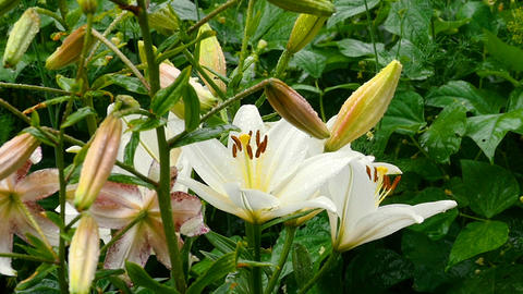 White Lily buds and petals after rain ビデオ