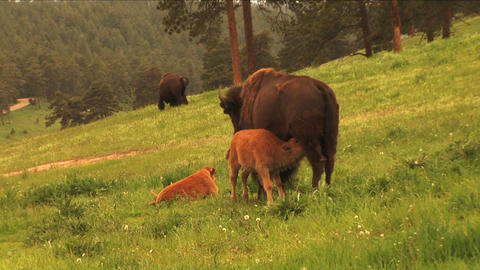 (1113) Bison Grazing on Spring Grass Ranchland with... Stock Video Footage