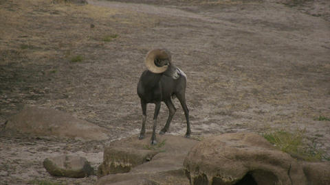 Bighorn Sheep HD stock footage
