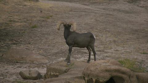 Bighorn Sheep HD Stock Video Footage